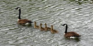Ducks-In-Row.jpg