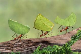 ants-carrying-leaves.jpg